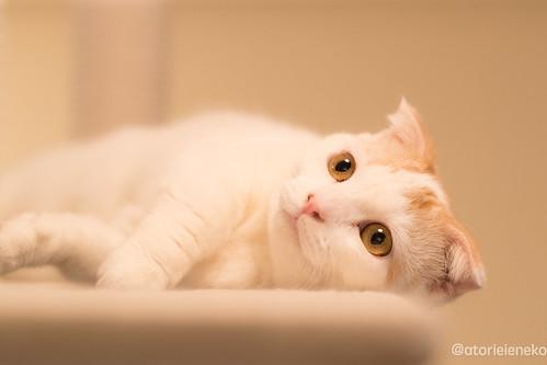 アトリエイエネコ Cat Photographer 39537050331_19228bddbd 猫カフェ みーちゃ・みーちょ