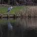 20180101 Wlk frm Tibshelf_0003 Heron~Tibshelf Fishing Ponds