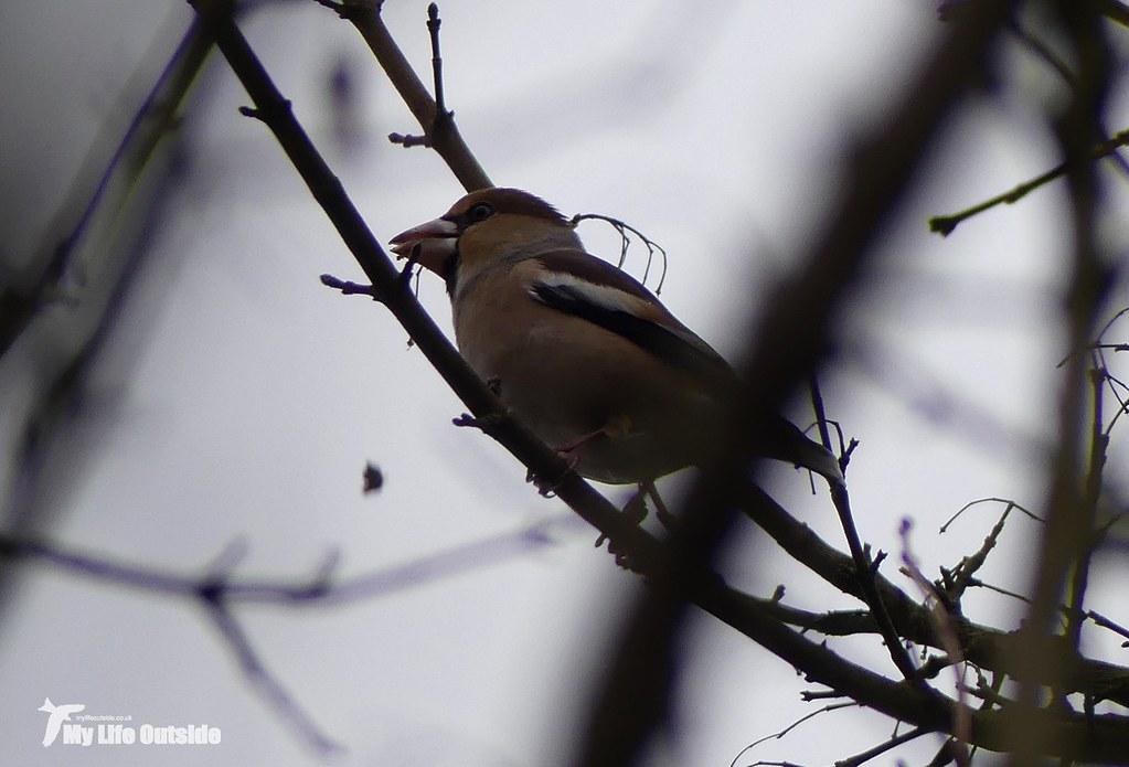 P1130096 - Hawfinch