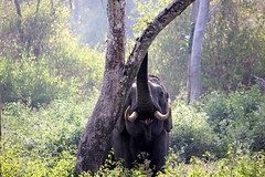 Tusker on Rampage
