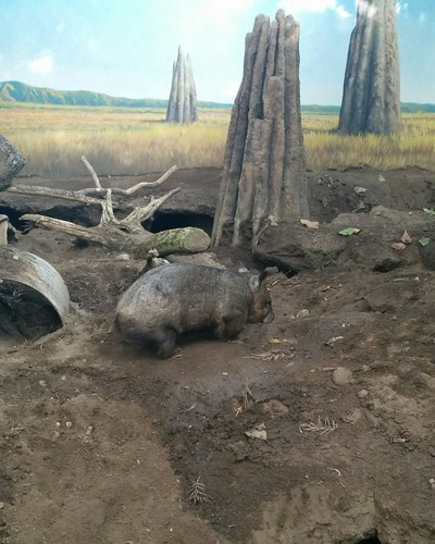 Southern hairy-nosed wombat #toronto #torontozoo #wombat #mammal #latergram