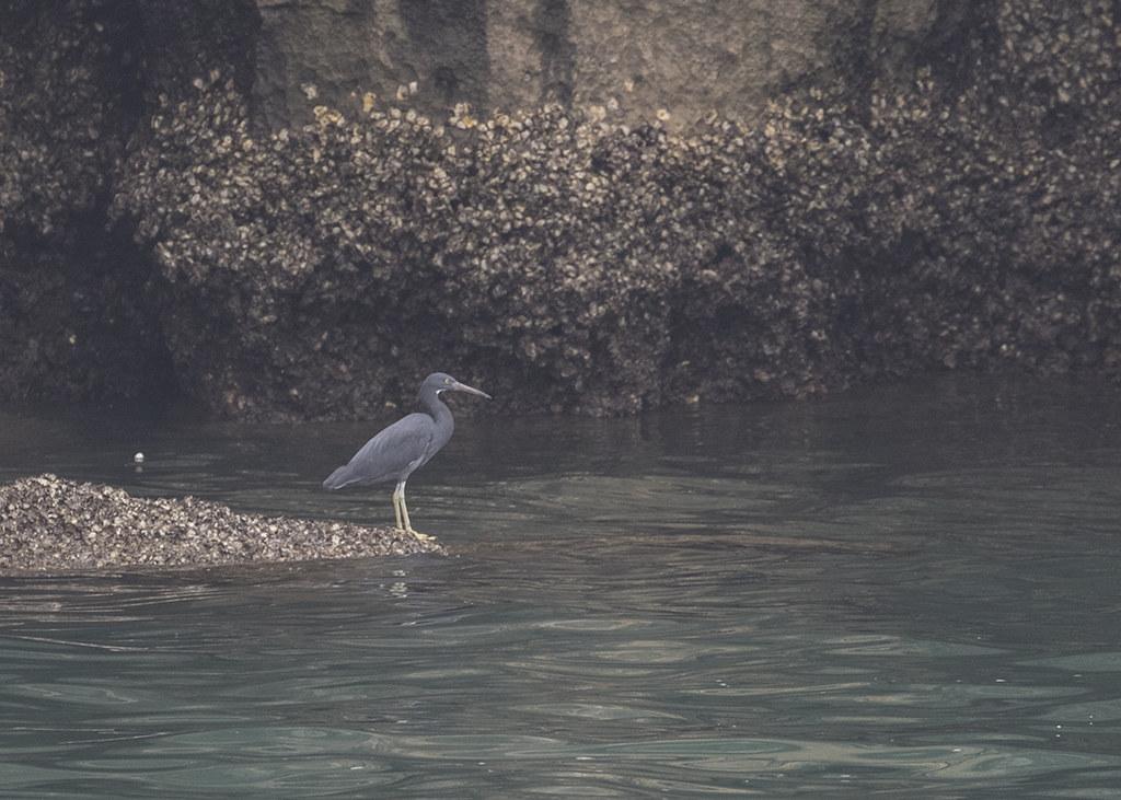 Pacific Reef-egret Egretta Sacra. Vietnam