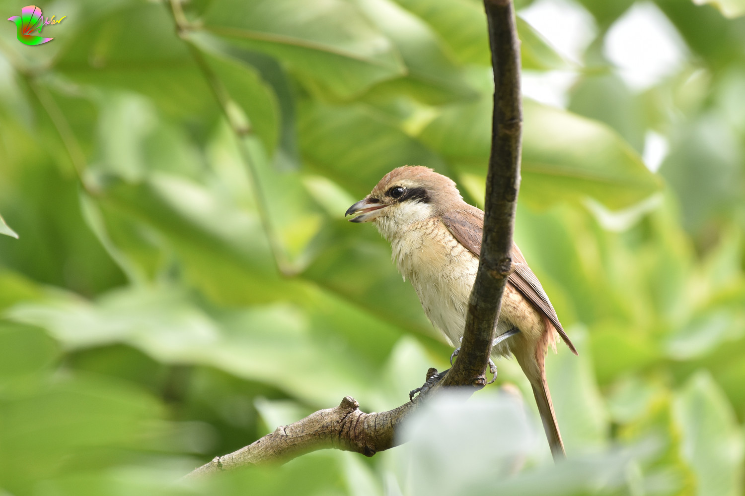 Brown_Shrike_4610