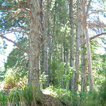 Pinus radiata trees