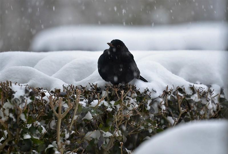 Blackbird 10.12 (6)