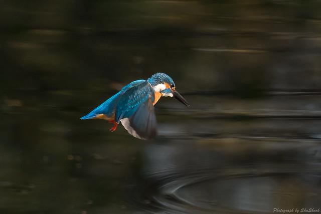 20171216-kingfisher-DSC_0820