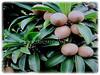 Manilkara zapota (Sapodilla, Sapote, Naseberry, Chicle Gum, Chiku in Malay)