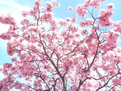 Pink tree in Pasadena