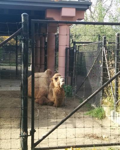 Camels (2) #toronto #torontozoo #camel #latergram