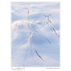 Grasses, Afternoon Light, Winter