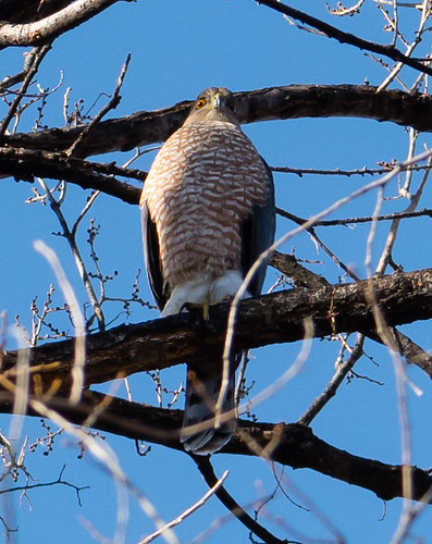 coopers_hawk_on_branch-20180104-100
