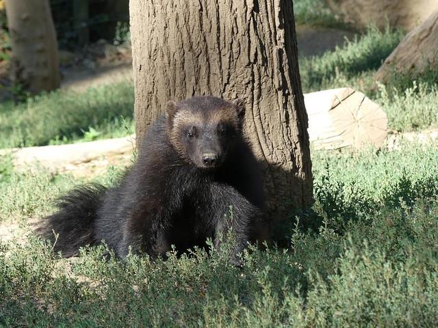 Eurasischer Vielfraß, Zoo Brno