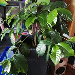 coffee planting in indoor plants by shiny