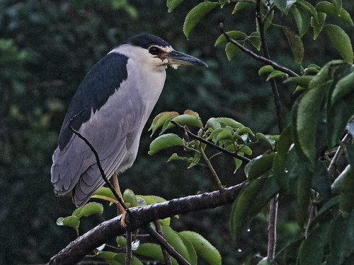 Black-crowned Night-Heron 01-20171219
