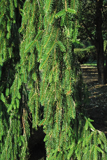 Picea abies (Norway spruce) 5
