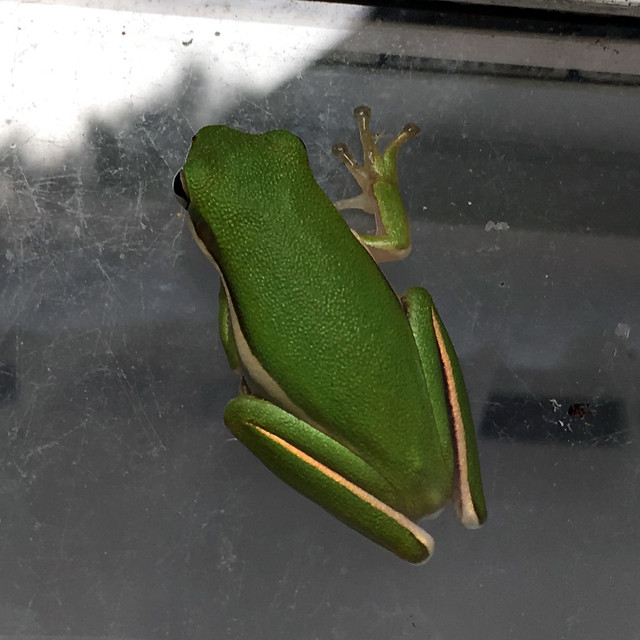 Green Treefrog on our house