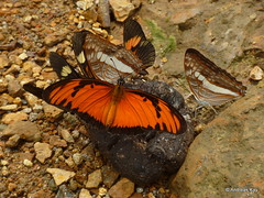 Butterflies puddling, Agraulis vanillae & Adelpha sp. & Actinote sp.