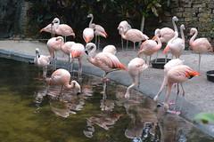 St Petersburg, FL - Sunken Gardens - Flamingos