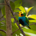 Multicoloured Tanager (Daniel Orozco)