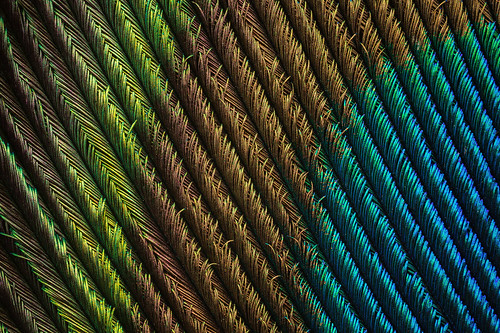Peacock Feather (5) | by Can Tunçer