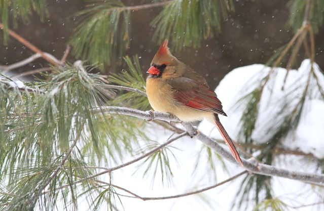 Northern cardinal female / cardinal rouge femelle