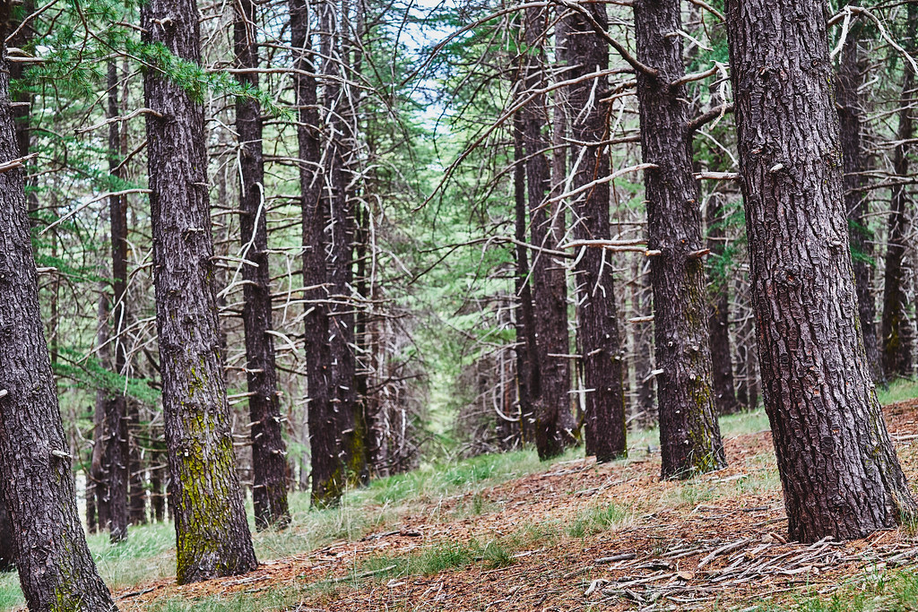 Arboretum Pines