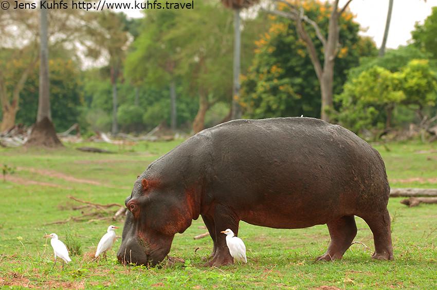 Hippopotamus Hippo, Liwonde National Park, Mvuu Lodge, Liwonde Wildlife Reserve