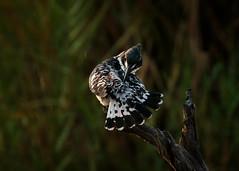 Pied Kingfisher Preening