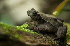 Incilius coniferus - Evergreen Toad