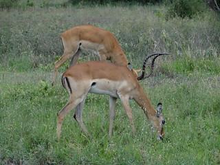Impalas in der Serengeti