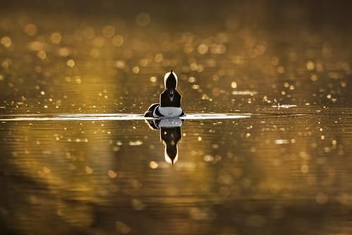 Golden Hour Merganser.. {Explored}