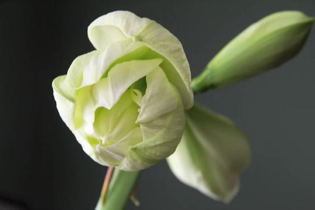 Amaryllis Bloom Time-Lapse