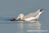 American Herring Gull (Larus argentatus smithsonianus), adult nonbreeding, feeding DSC_5364