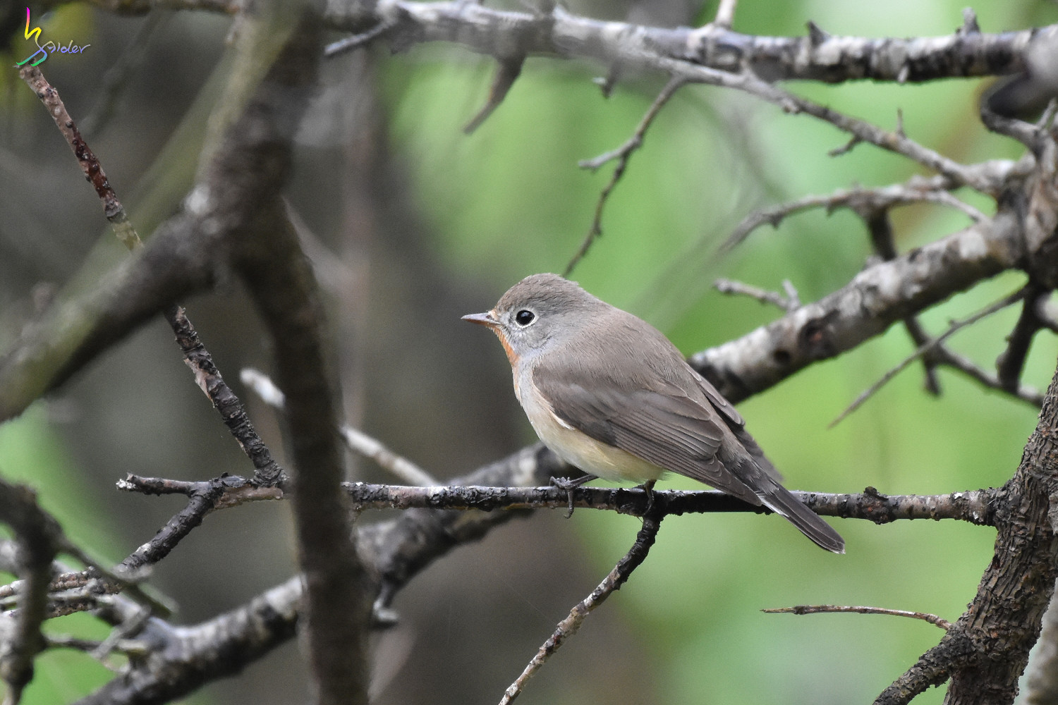 Red-breasted_Flycatcher_9455