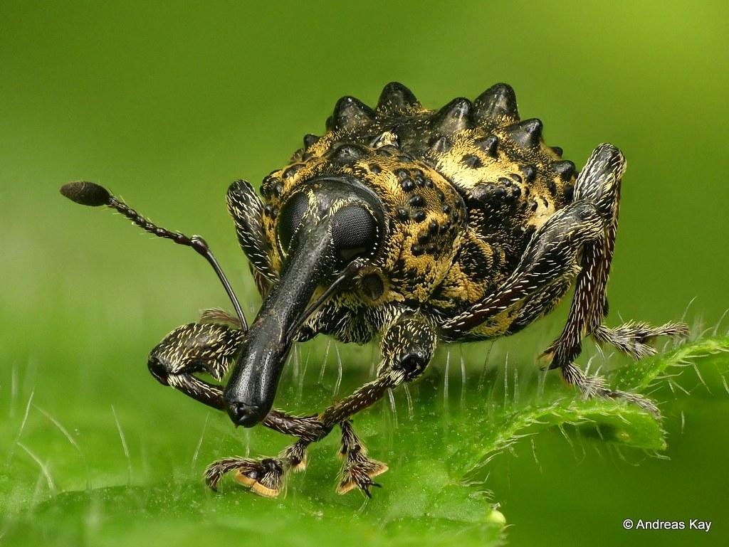 Bumpy little weevil, Heilus freyreissi, Curculionidae