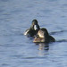 Ring-necked Duck record shots, Lake 30 Cotswold Water Park, 18th December 2017