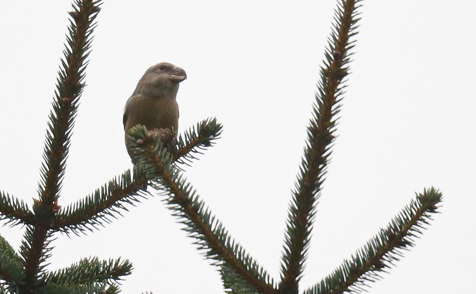Parrot Crossbill - female type