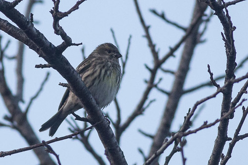 European Serin - i think