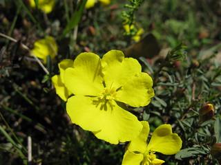 Hibbertia diffusa flower 1 DC