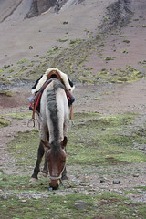Horse used for the trek to Rainbow Mountain (Vinicunca), Peru