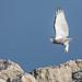 Skyward Owl