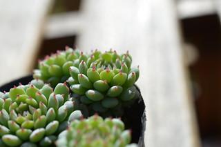 DSC_7326 Echeveria globulosa hyb 'Vincent Catto' エケベリア グロブローサ ビンセントカトー