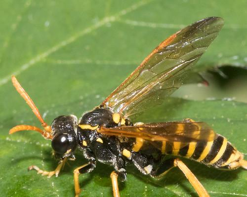 Sawfly - Figwort Sawfly - Tenthredo scrophulariae 25-08-17 closer