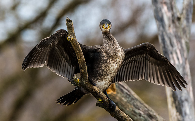Cormorant stretched wings