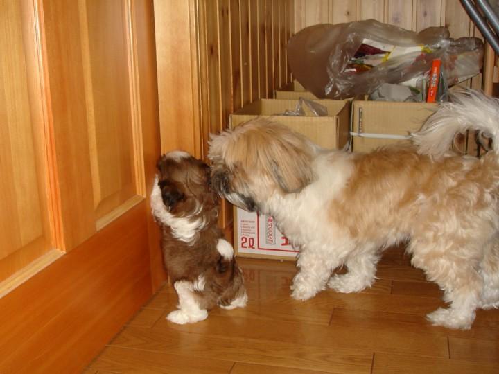 シーズーの子犬まろんを追いかける先住犬ちっぷ
