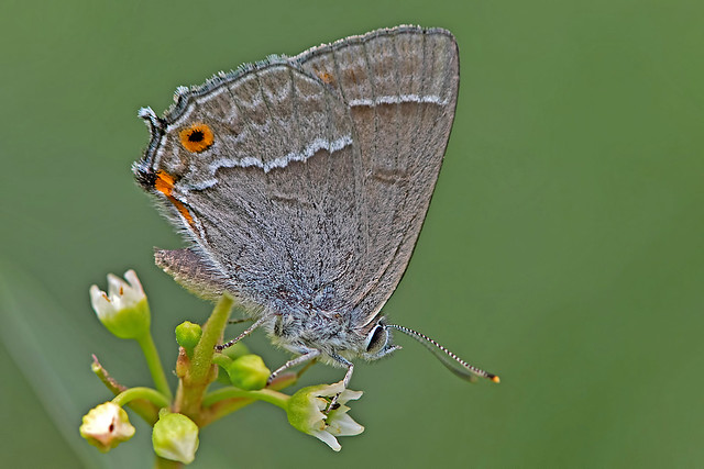 Neozephyrus quercus - the Purple Hairstreak