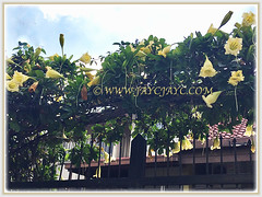 Fast-growing Solandra grandiflora (Chalice Vine, Cup of Gold, Goldcup Vine, Golden Chalice Vine) that requires a strong trellis to climb, 7 Jan 2018