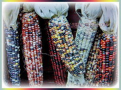 Fruits of Zea mays (Maize, Corn, Sweet Corn, Indian Corn, Jagung in Malay) comes in varying colours, 20 Dec 2017