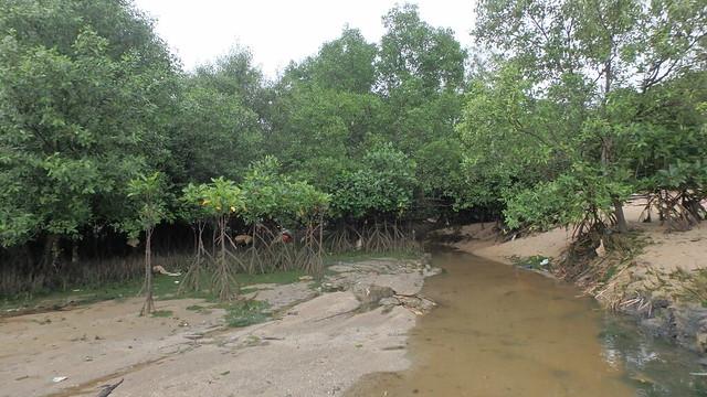 Young saplings at Loyang mangrove