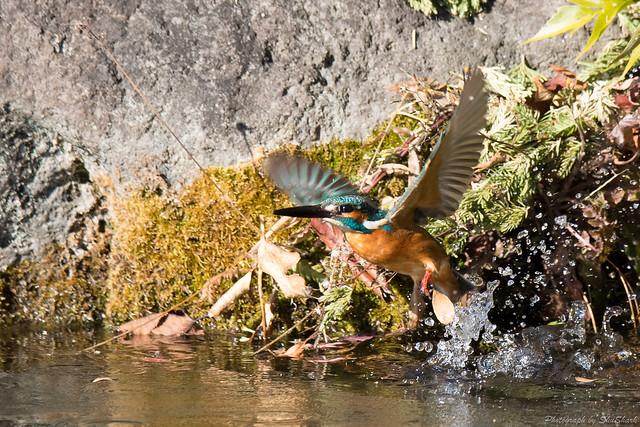 20171225-kingfisher-DSC_2580